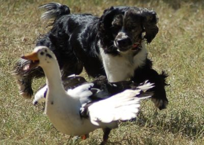 Calypso Ducks